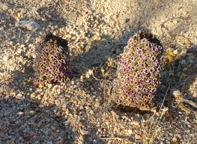 Scaly-stemmed Sand Plant, Purple Sand Food