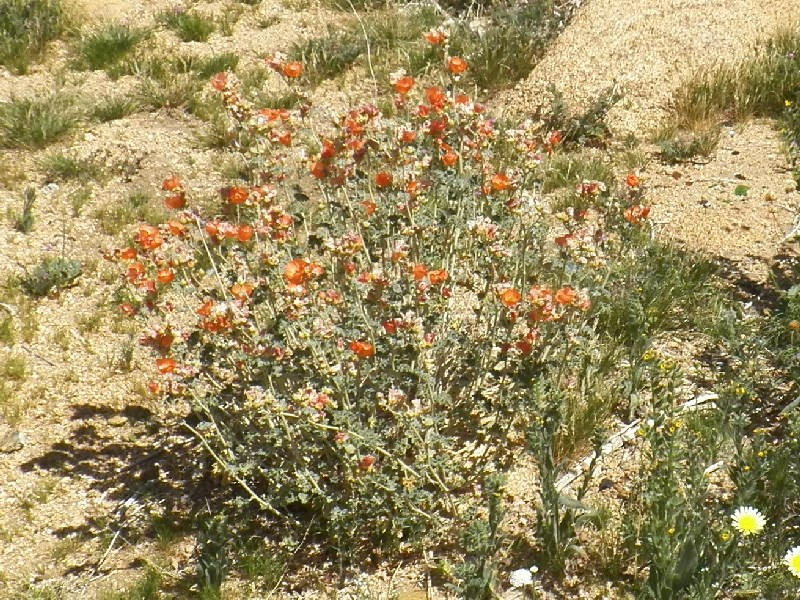 Globemallow at Rock Corral (Sphaeralcea ambigua)
