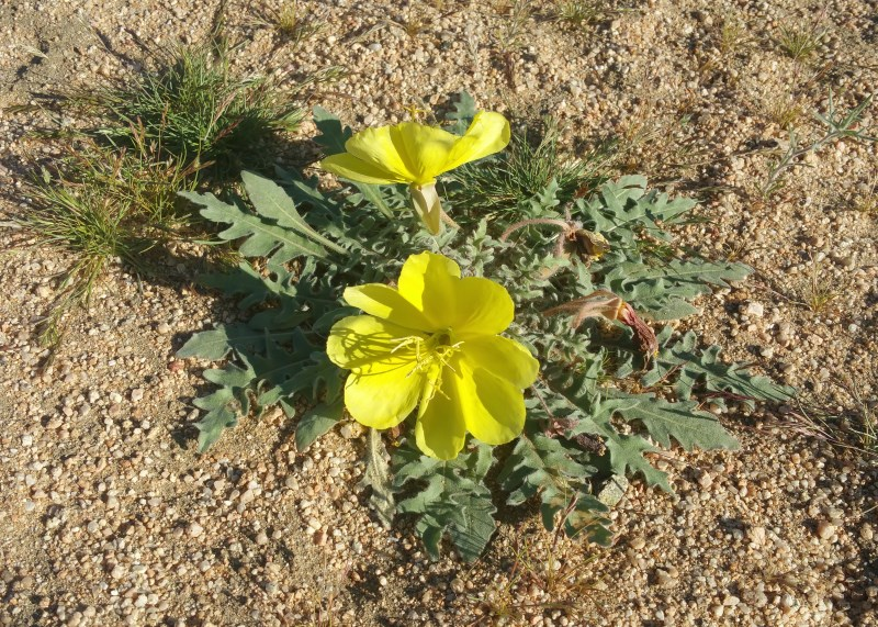 Yellow Desert Evening Primrose