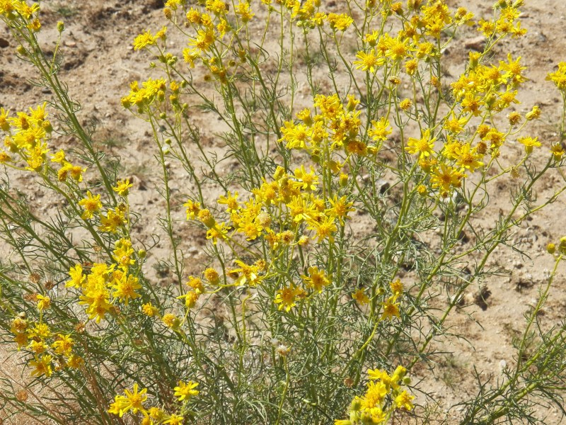 Shrubby Butterweed (California Butterweed)
