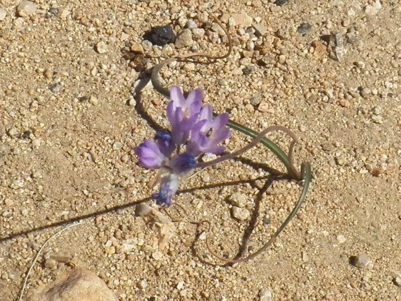 Desert Hyacinth - Bluedicks